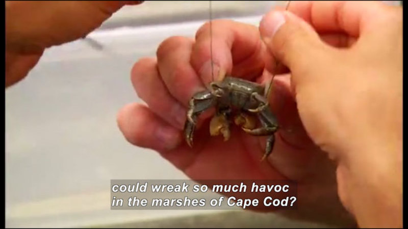 Person holding a small crab. Caption: could wreak so much havoc in the marshes of Cape Cod?