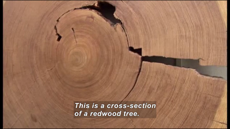 Closeup cross-section of a large tree with many rings. Caption: This is a cross-section of a redwood tree.