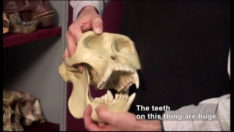 Person holding a large animal skull. Caption: The teeth on this thing are huge.