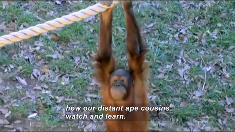 Primate hanging from a rope. Caption: how our distant ape cousins watch and learn.