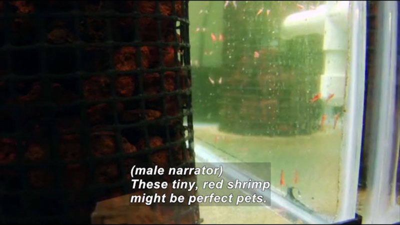 Small red animal swimming in a tank. Caption: (male narrator) These tiny, red shrimp might be perfect pets.