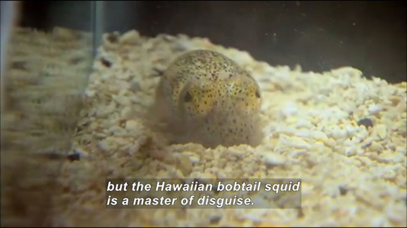 Small translucent speckled animal nestled on pebbles. Caption: but the Hawaiian bobtail squid is a master of disguise.