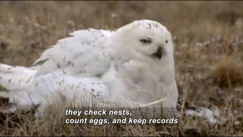 White bird with gray speckles nesting on the ground. Caption: they check nests, count eggs, and keep records