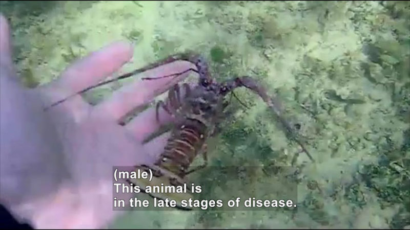 Still image from Science Nation: Dying Lobsters