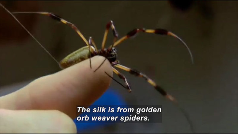 Large spider with variegated legs crawling on a person's fingertip. Caption: The silk is from golden orb weaver spiders.
