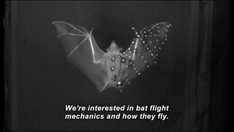 Bat with wings extended spots on the rib of one wing highlighted. Caption: We're interested in bat flight mechanics and how they fly.