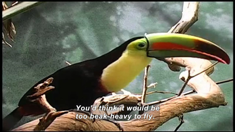Brightly colored bird with a beak almost as large as its body. Caption: You'd think it would be too beak-heavy to fly.