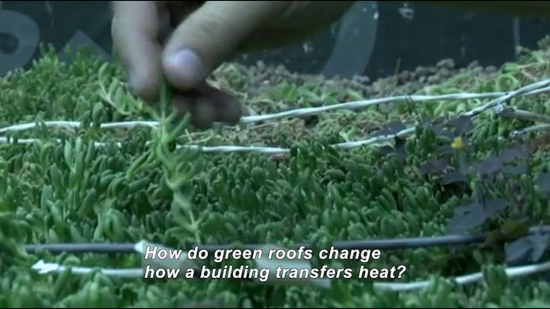 Closeup of a hand handling a small, green plant in a densely populated patch of similar plants. Caption: How do green roofs change how a building transfers heat?