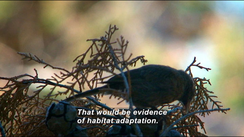 Still image from The Mysterious Juncos Of Guadeloupe Island