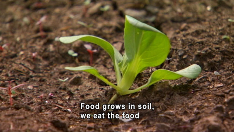 Closeup of a plant seedling in soil. Caption: Food grows in soil, we eat the food