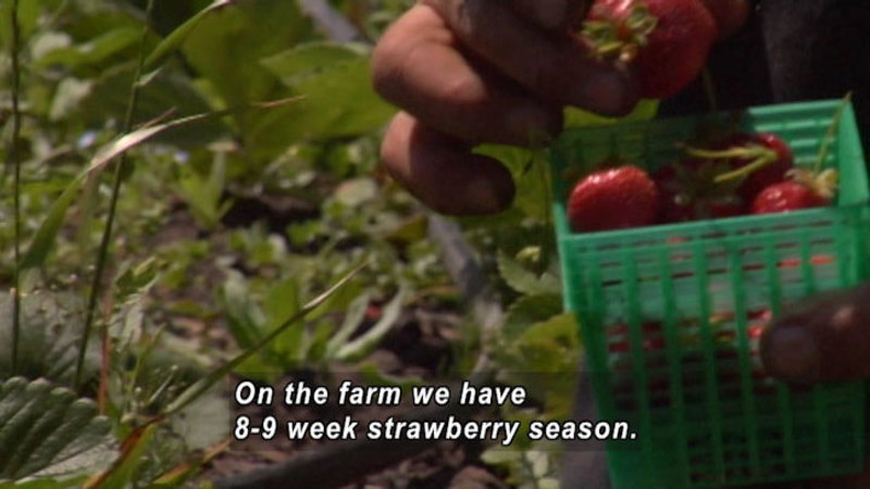 Hand holding a plastic pint container of strawberries with a field in the background. Caption: On the farm we have 8-9 week strawberry season.