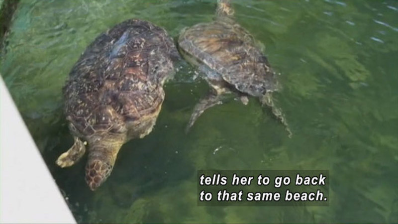 Two sea turtles swimming in the water. Caption: tells her to go back to that same beach.