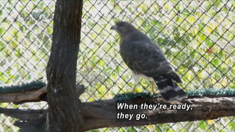 Bird on a perch in an enclosure. Caption: When they're ready, they go.