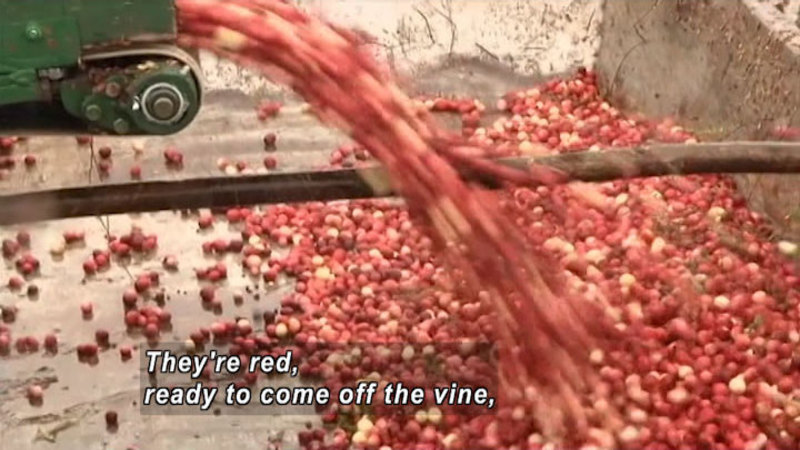 Mostly red cranberries coming out of a chute into a large bin. Caption: They're red, ready to come off the vine,