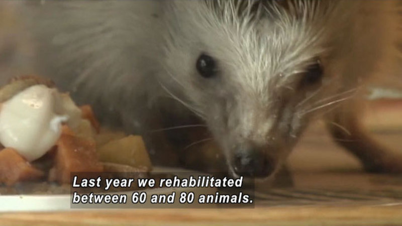 Close up of a rodent's face with a pile of food to one side. Caption: Last year we rehabilitated between 60 and 80 animals.