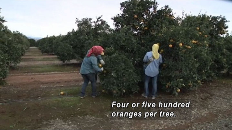 Two people pick oranges off an orange tree. Caption: Four or five hundred oranges per tree.