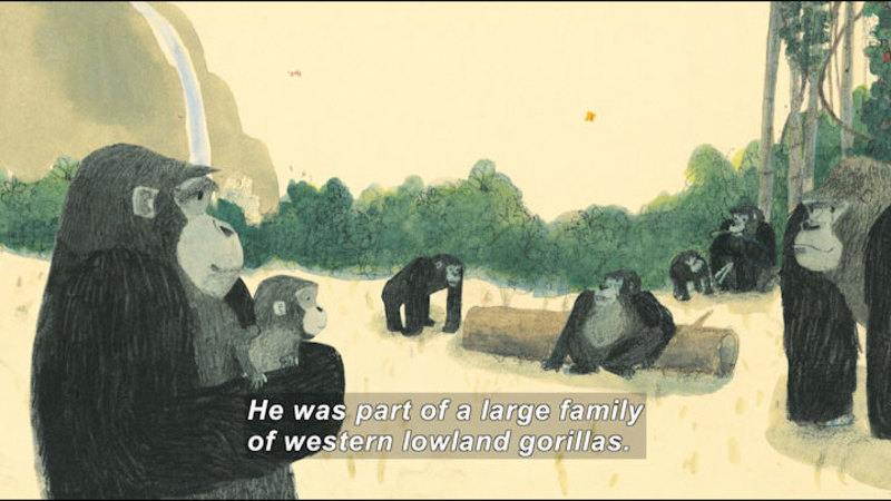 Illustration of an adult gorilla holding a baby gorilla, other adult gorillas in a forest the background. Caption: He was part of a large family of western lowland gorillas.