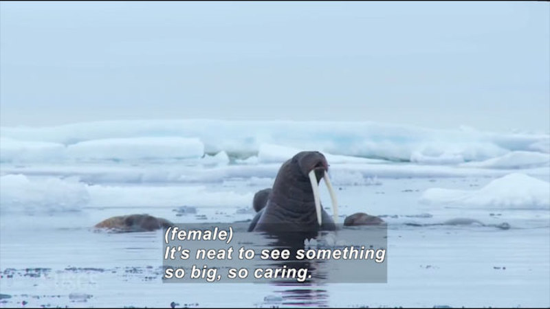 Still image from Tracking Pacific Walrus: Expedition To The Shrinking Chukchi Sea Ice