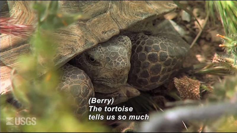 A tortoise with its head and feet pulled into its body. Caption: (Berry) The tortoise tells us so much