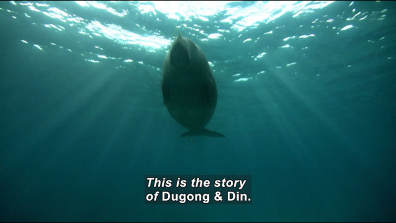 Dugong outlined against the surface of the water as seen from below. Caption: This is the story of Dugong & Din.