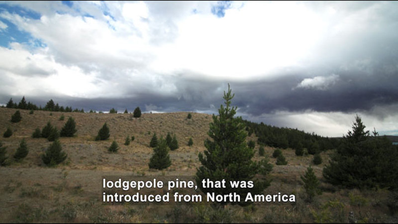 Rolling hillside spotted with evergreen trees. Caption: lodgepole pine, that was introduced from North America
