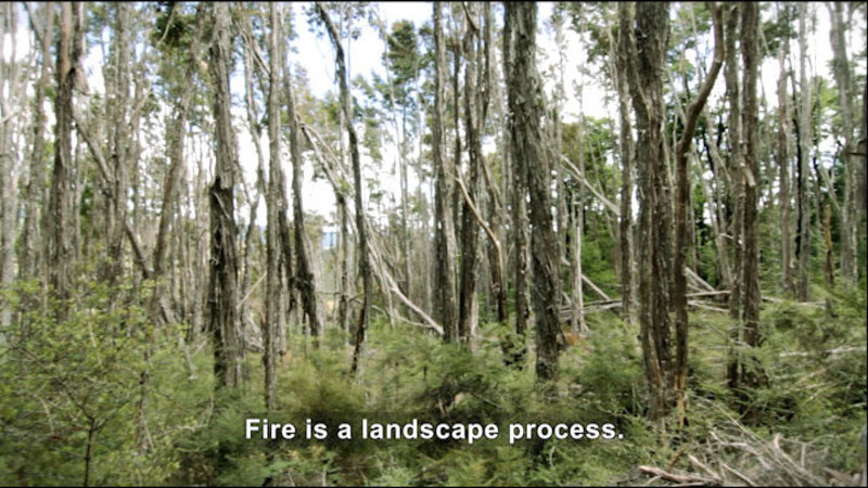 Tall, thin trees choked with brush. Caption: Fire is a landscape process.