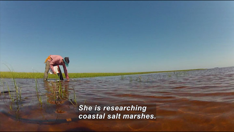 Person standing in ankle deep water and grass holding a clipboard leans down and reaches into the water. Caption: She is researching coastal salt marshes.