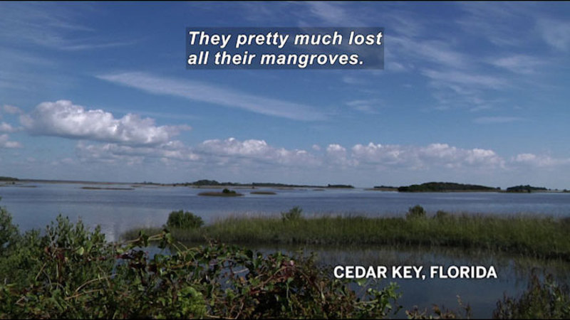 Still image from In The Grass, On The Reef: Weather Effects On Mangroves