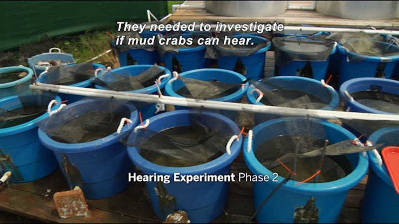 Still image from In The Grass, On The Reef: Can Mud Crabs Hear?