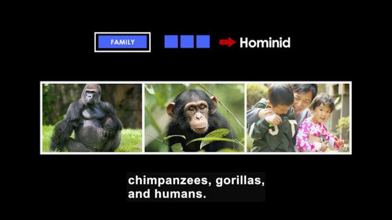 Gorilla, chimpanzee, humans. Family is Hominid.