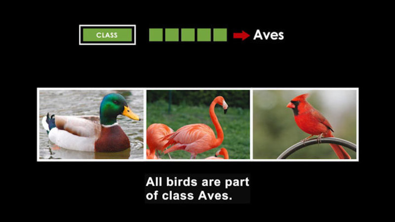 A duck, flamingo, and cardinal. Class is Aves. Caption: All birds are part of class Aves.