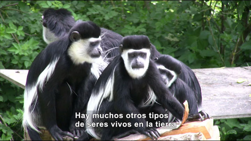 Several primates with black and white fur. Spanish captions.