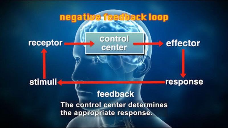 Negative feedback loop. Control center (brain), effector, response, feedback, stimuli, receptor, back to control center. Caption: The control center determines the appropriate response.