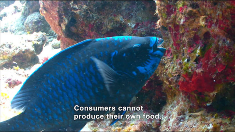 Blue tropical fish eating something from a rock covered in plants. Caption: Consumers cannot produce their own food.