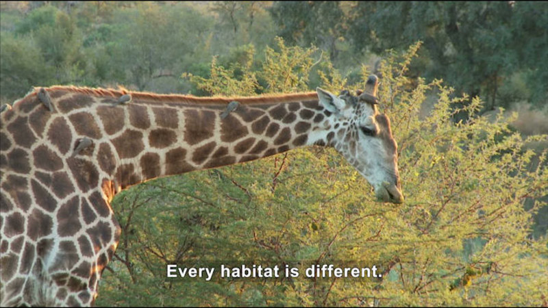 Giraffe eating foliage from a treetop. Caption: Every habitat is different.