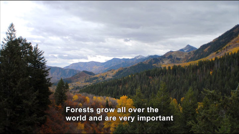 Forested mountain side. Caption: Forests grow all over the world and are very important