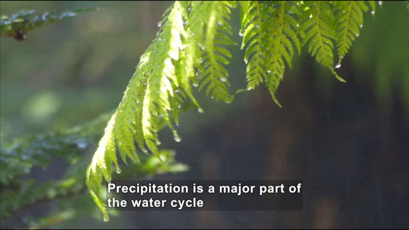 Closeup of a fern leaf with water dripping from it. Caption: Precipitation is a major part of the water cycle