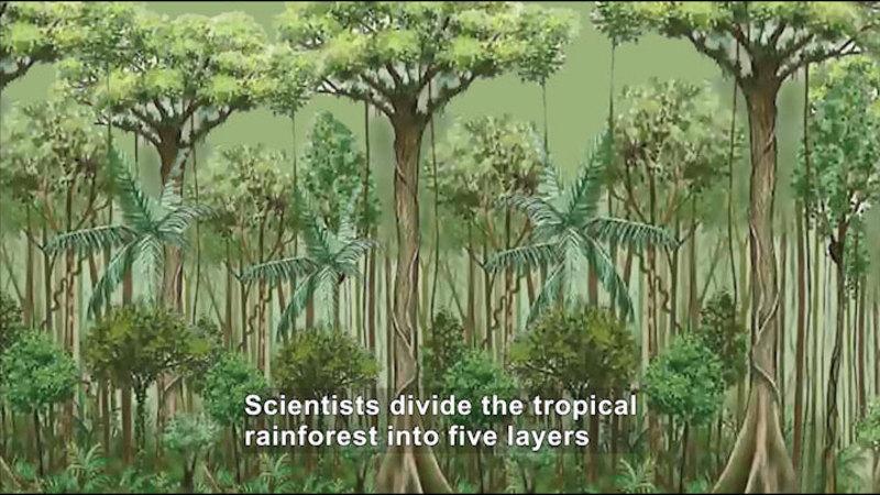 Illustration of a tropical rainforest. Caption: Scientists divide the tropical rainforest into five layers