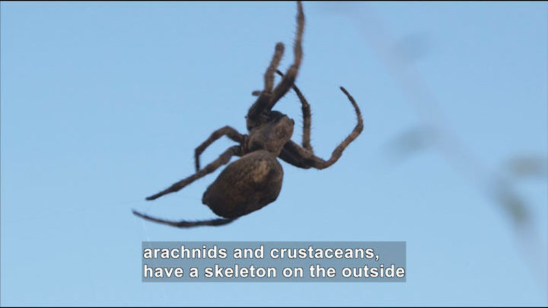 Closeup of a mottled brown spider. Caption: arachnids and crustaceans, have a skeleton on the outside