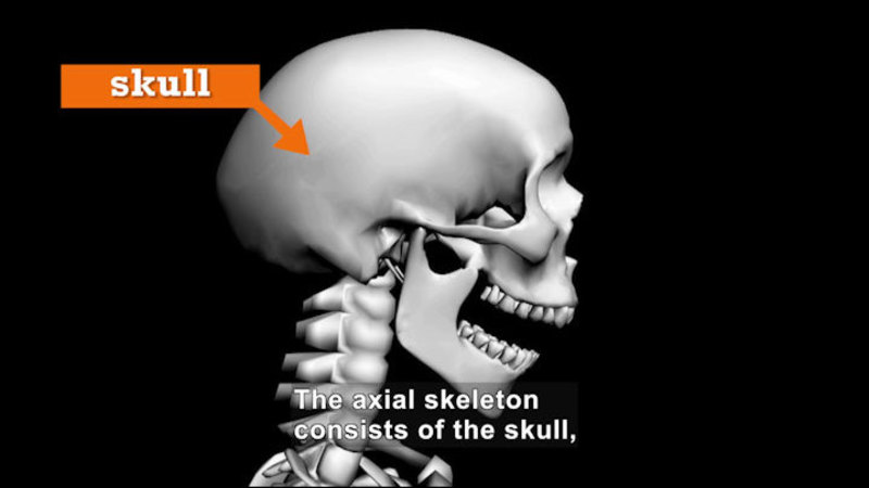Computerized image of a skull. Caption: The axial skeleton consists of the skull,