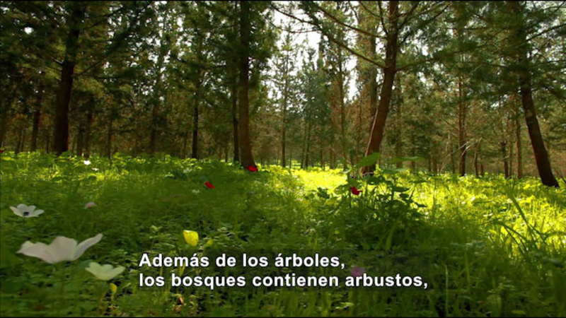Still image from Science Video Vocab: Forest (Spanish)