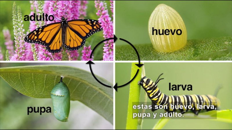 Butterfly lays the egg, egg hatches to larva, larva changes into a pupa, pupa turns into a butterfly. Spanish captions.