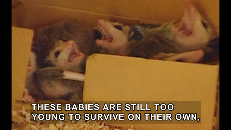 Baby rodent-like animals in a cardboard box with wood shavings. Caption: These babies are still too young to survive on their own,
