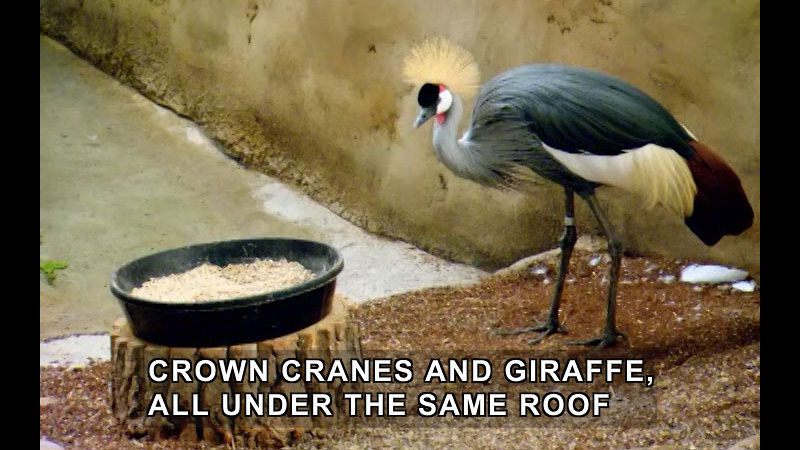 A bird with long legs, colorful plumage and a yellow crest of feathers on its head in an enclosure with a bowl of food. Caption: Crown cranes and giraffe, all under the same roof