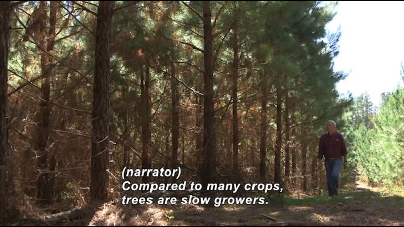 Man walking and looking at trees. Caption: (narrator) Compared to many crops, trees are slow growers.