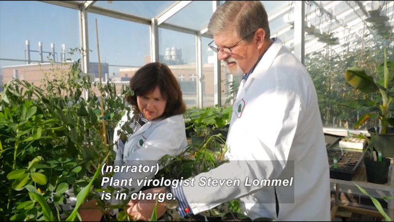 Two scientists examining a plant. Caption: (narrator) Plant virologist Steven Lommel is in charge.