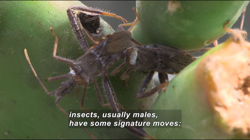 Two insects on a plant. Caption: insects, usually males, have some signature moves: