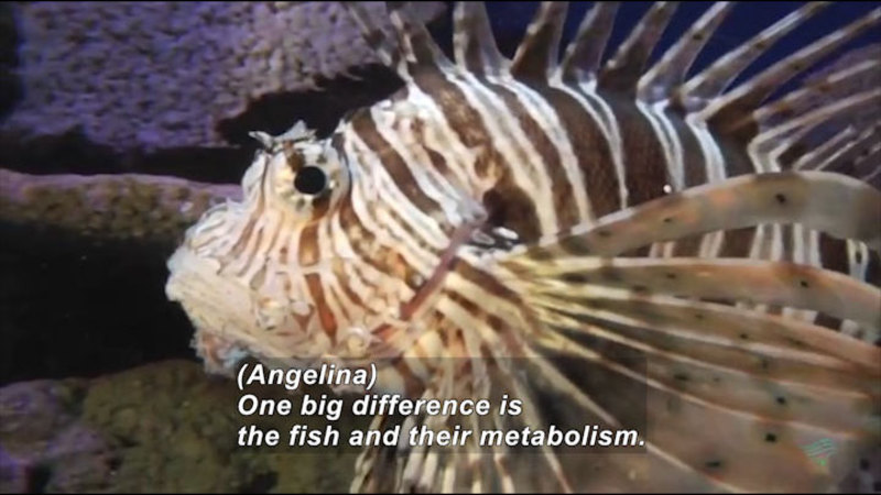 A lionfish. Caption: (Angelina) One big difference is the fish and their metabolism.